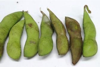 枝豆試験最終日の画像4
